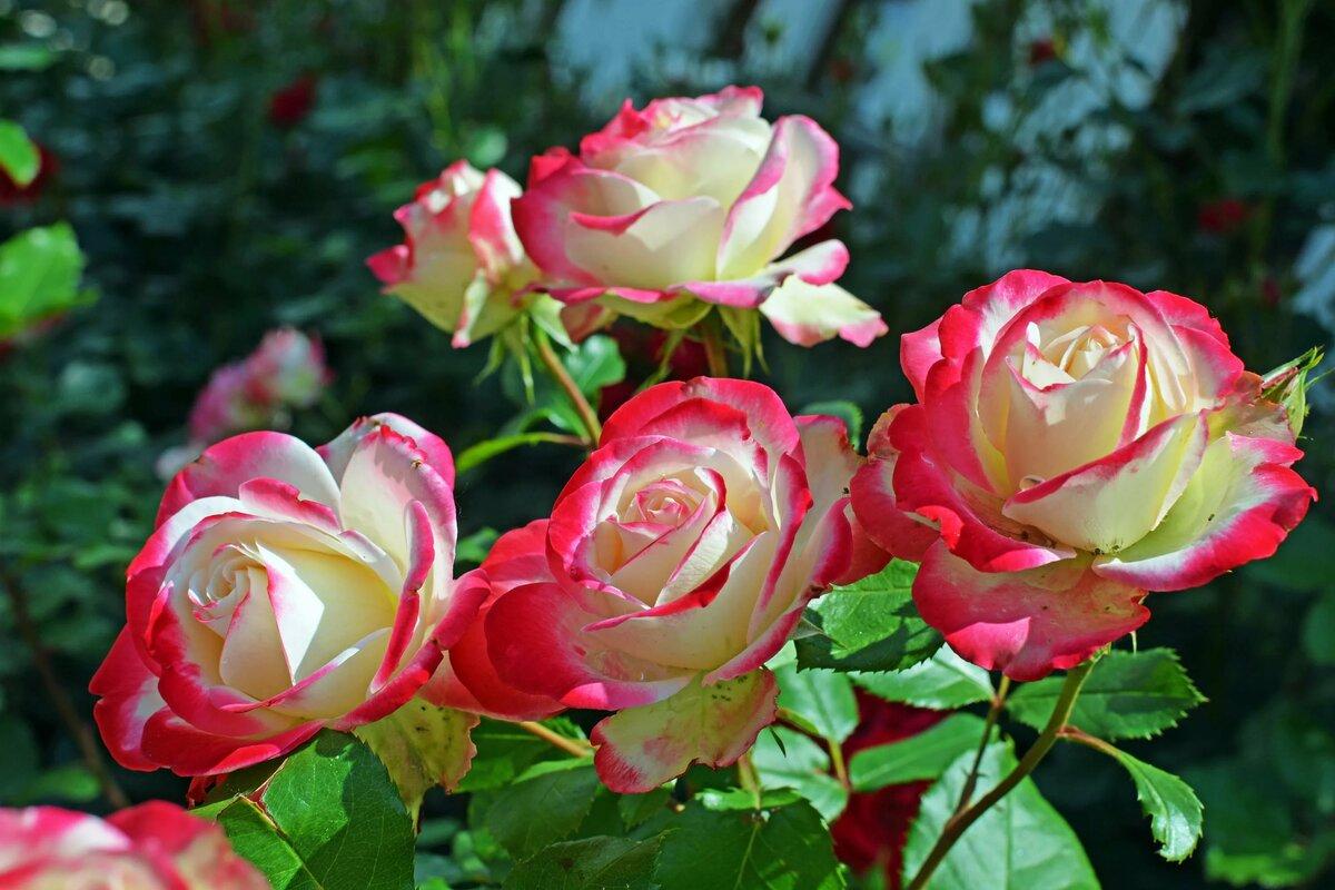 Растения в картинках розы
