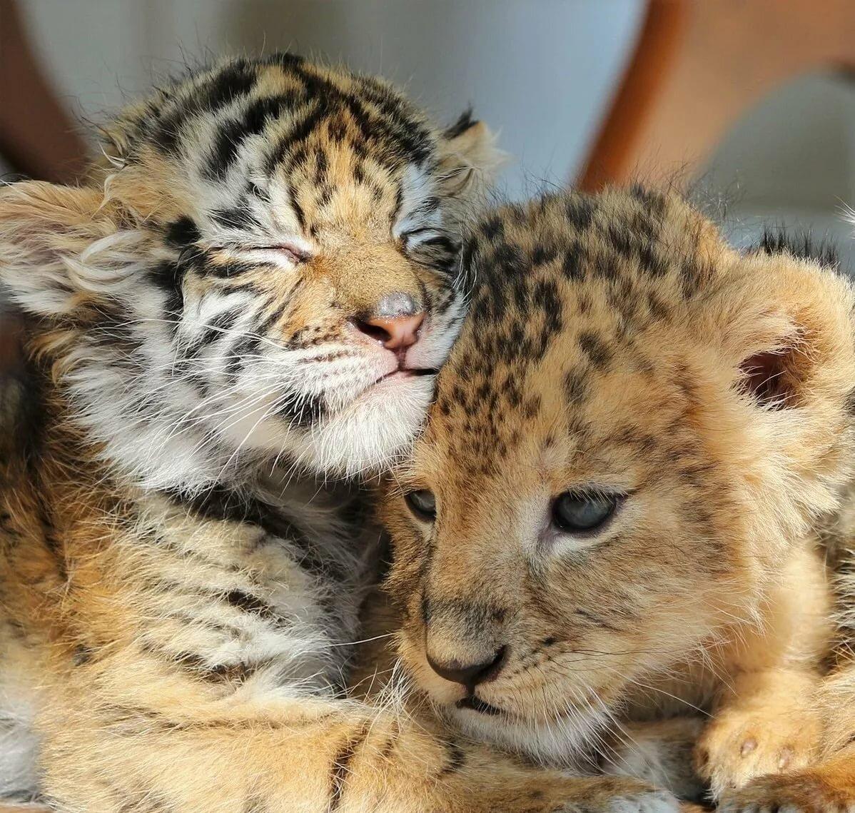 Картинки с тигрятами и львятами, тему ждем
