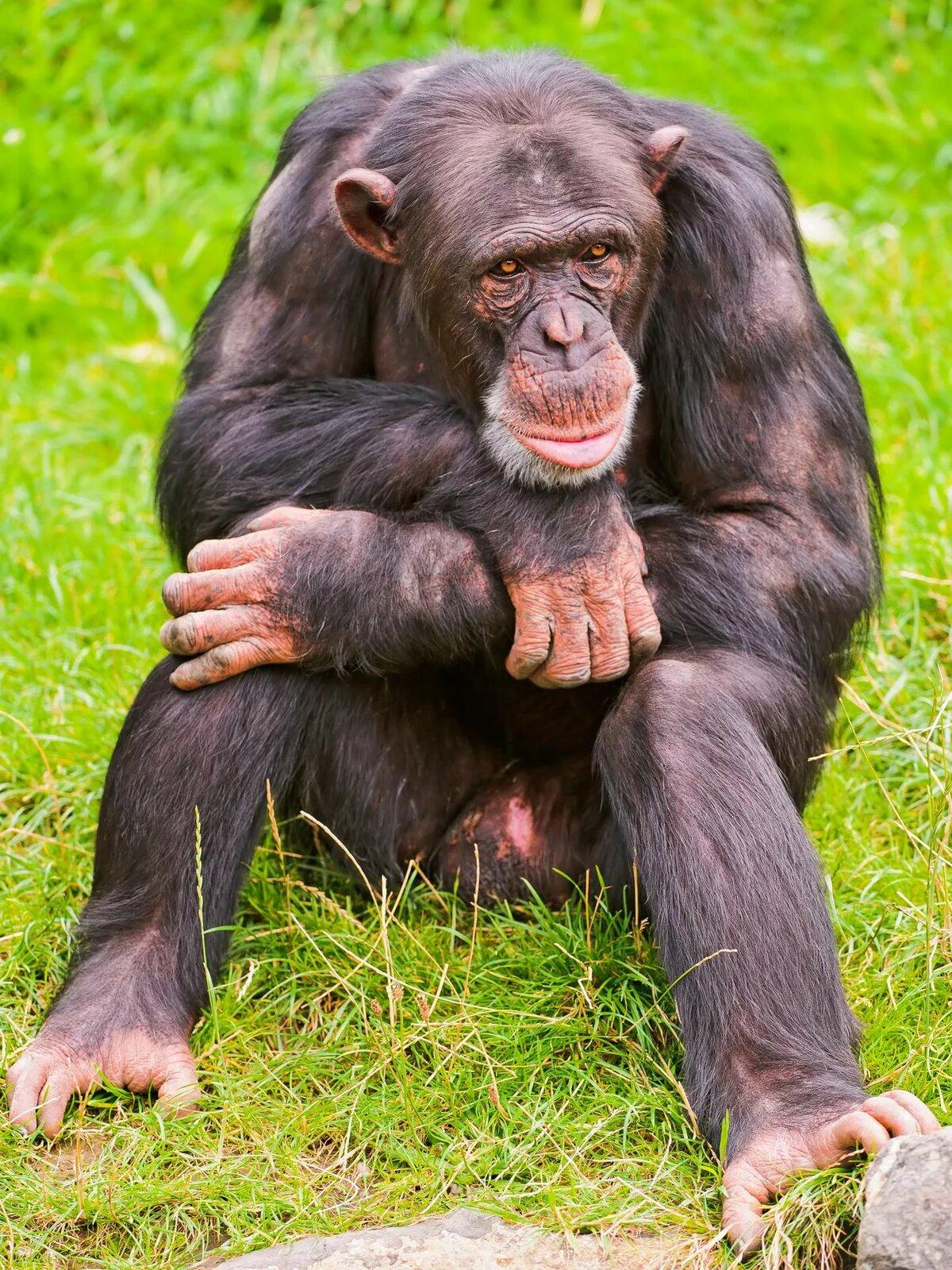 что картинки прикольные шимпанзе подходит для промышленного
