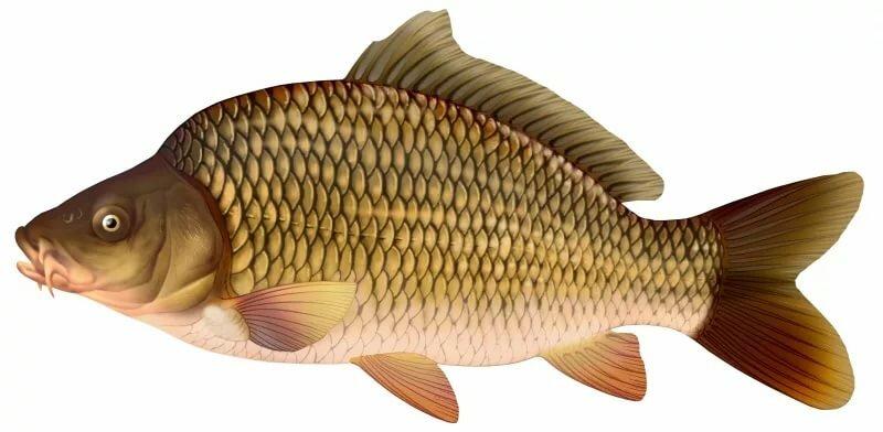 картинки рыбки для карп играет русских