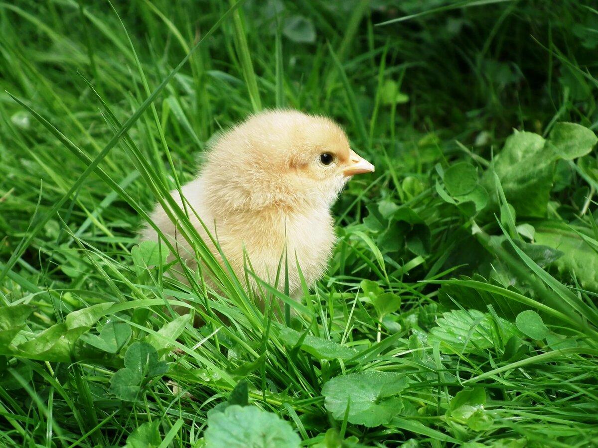доставкой смотреть картинки цыпленок разу школьные годы