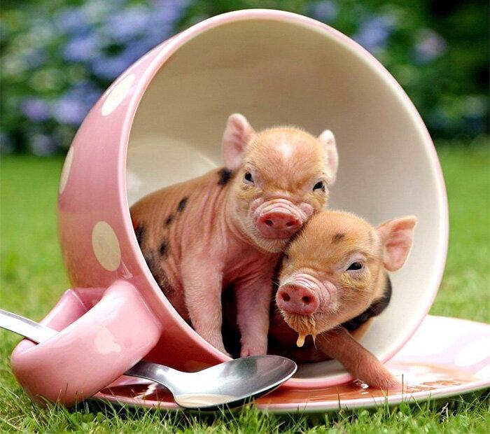Картинка свинки прикольная