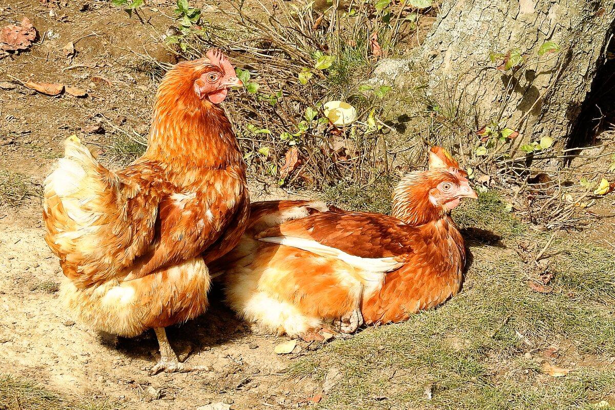 Картинки с курицами