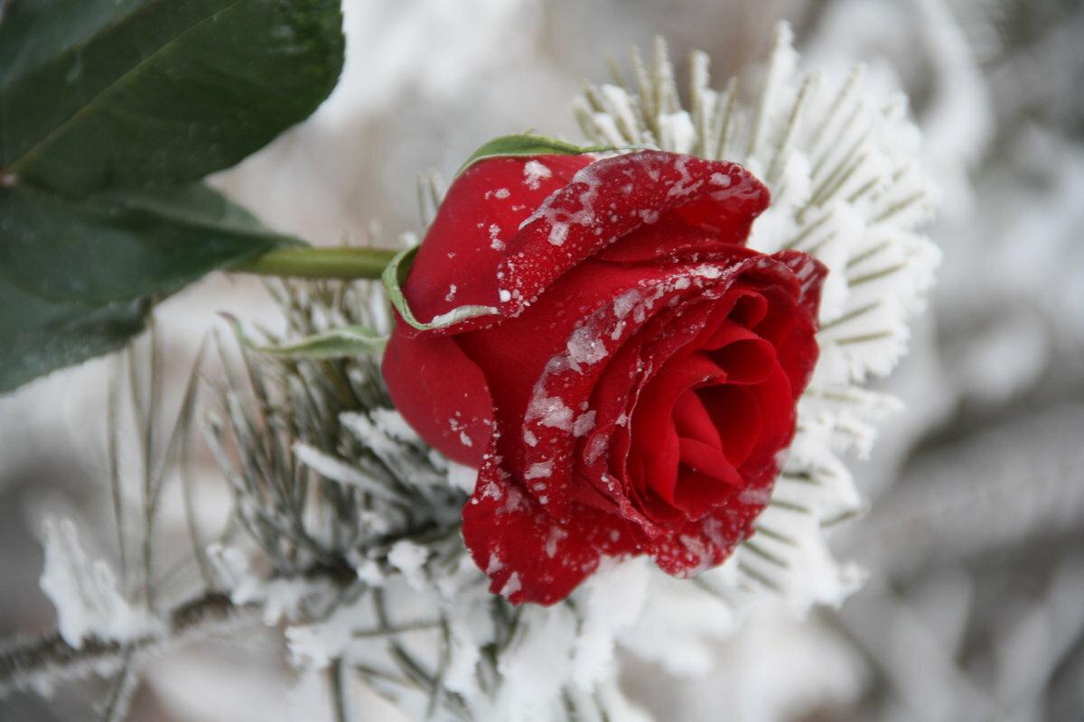 Что, розы в снегу открытки