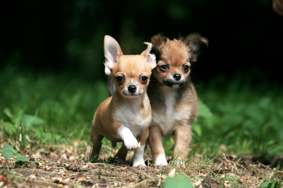 Мини породы собак картинки