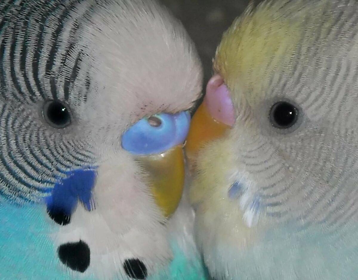 первый взгляд картинки попугаев волнистых самок райском