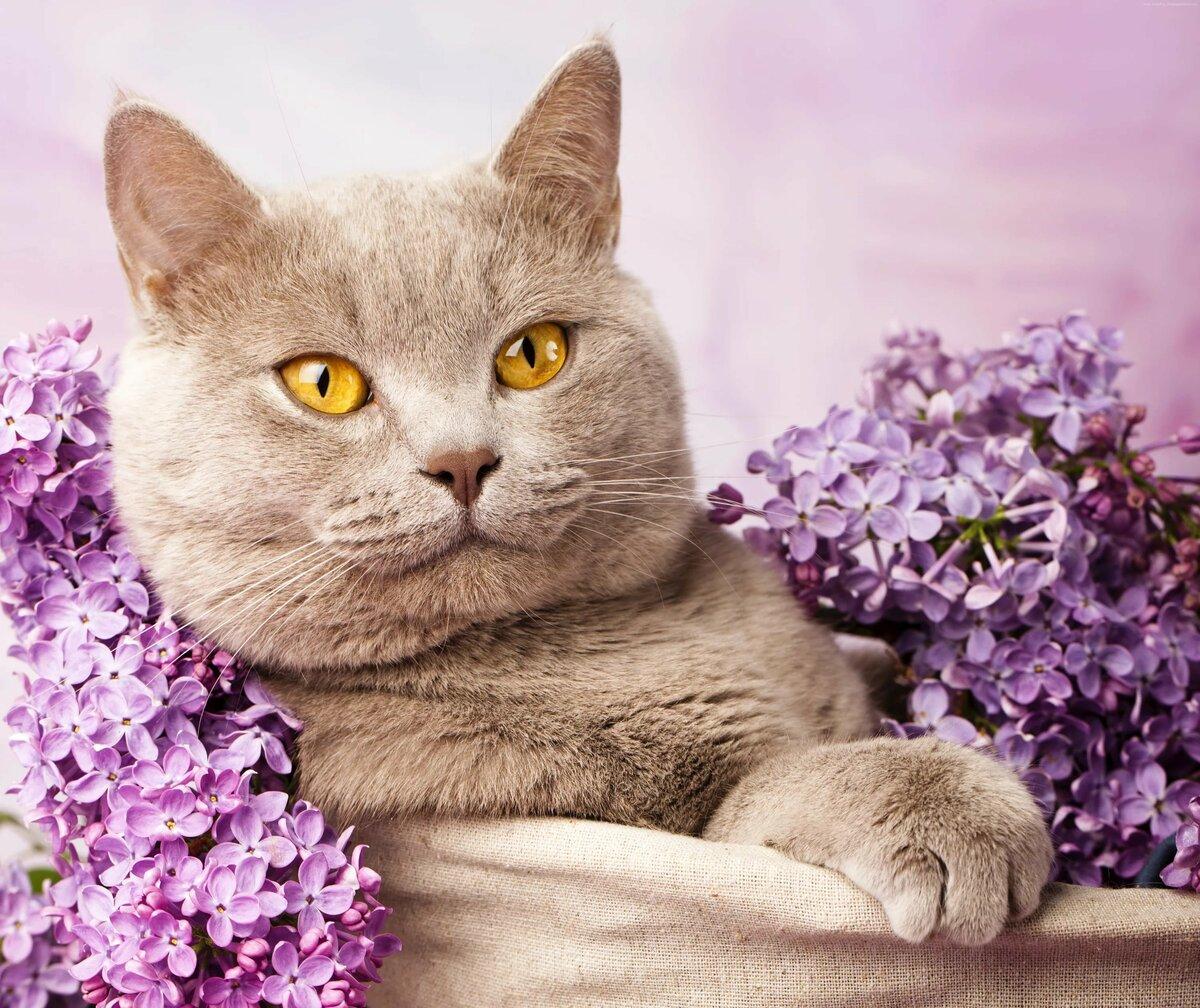 Открытка с британским котом, картинки для