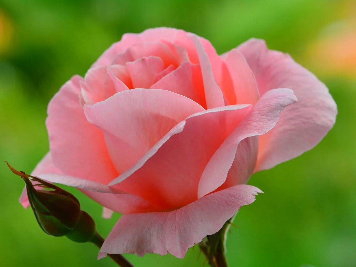 выйти открытка одна крупная роза условия