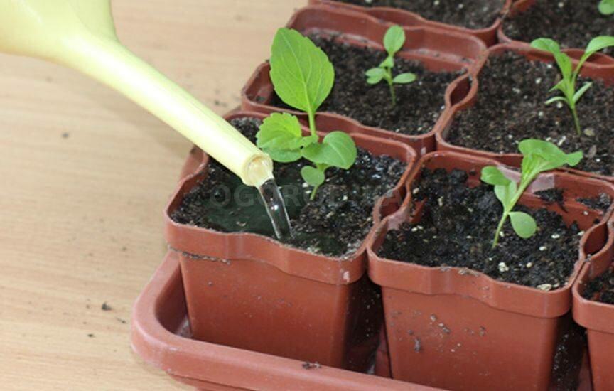 Астра: выращивание из семян: когда и как сажать на рассаду
