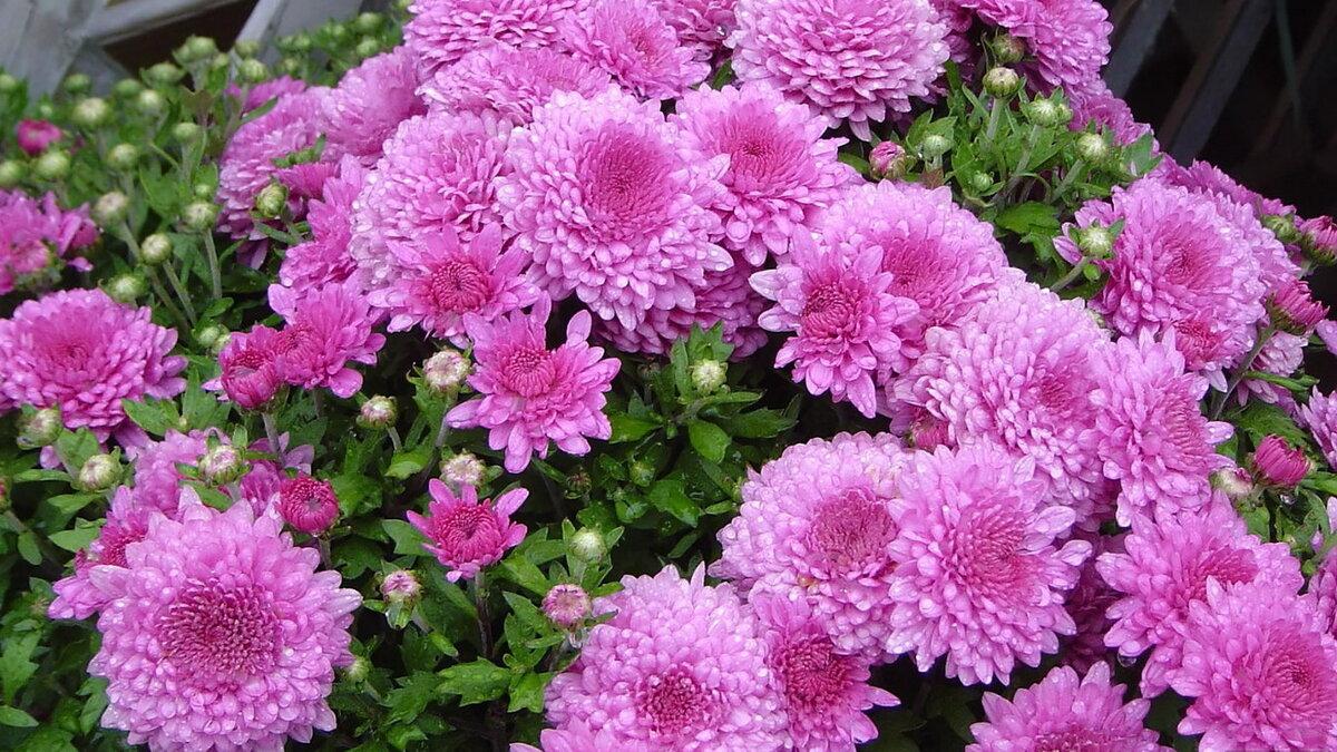 Цветы хризантемы фото и картинки
