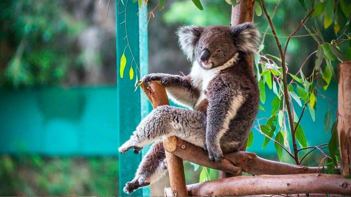смешные коалы фото подготовили