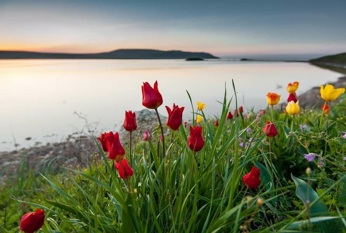 Фотографии дикорастущих тюльпанов