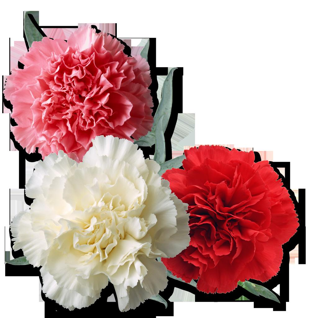 Цветы гвоздики на открытке