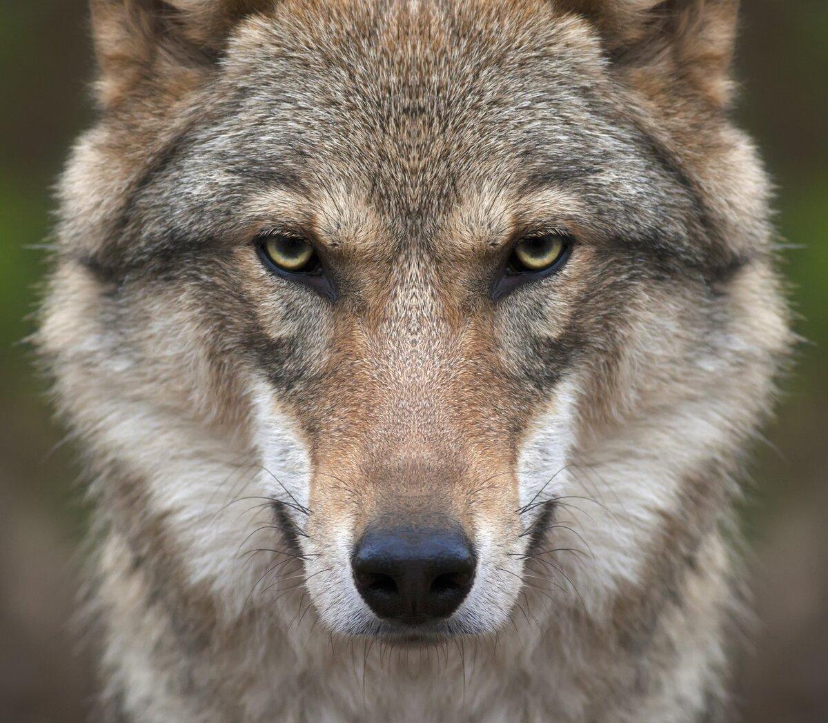 Торт открытке, картинки с волками