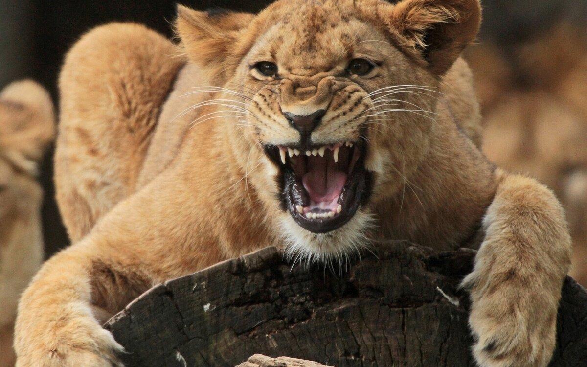 Картинка с львицей, гармошки своими руками