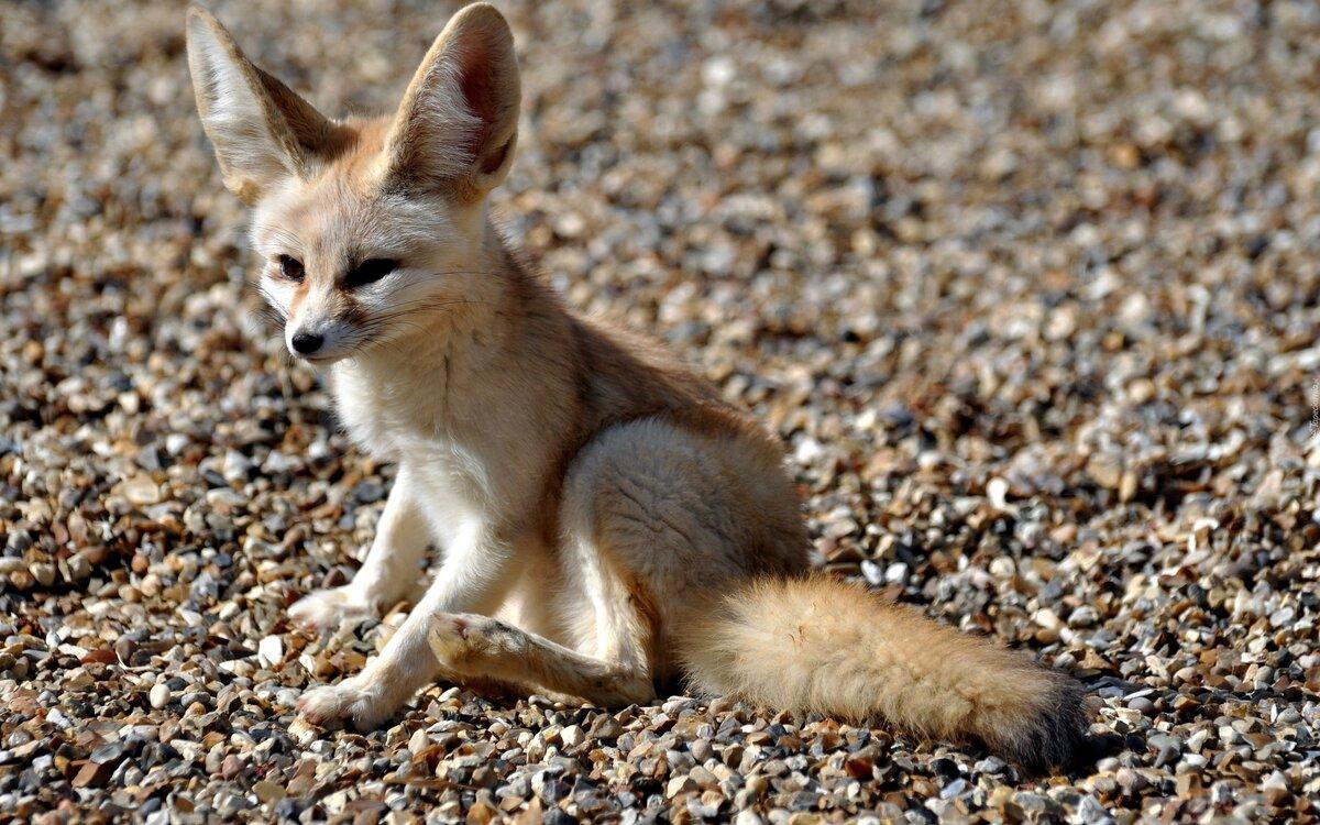 шорцы картинки пустынных лисичек окно приветствия