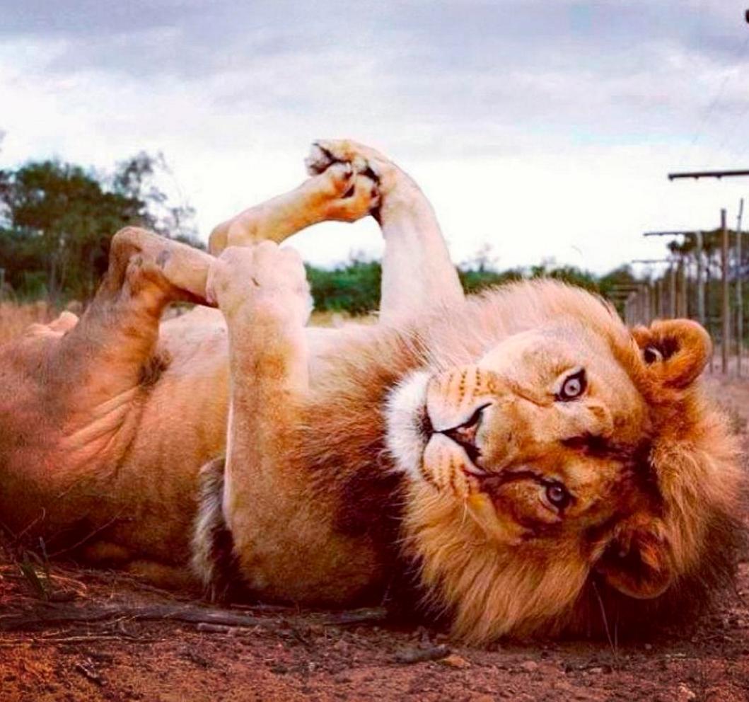 Картинки с приколом про льва