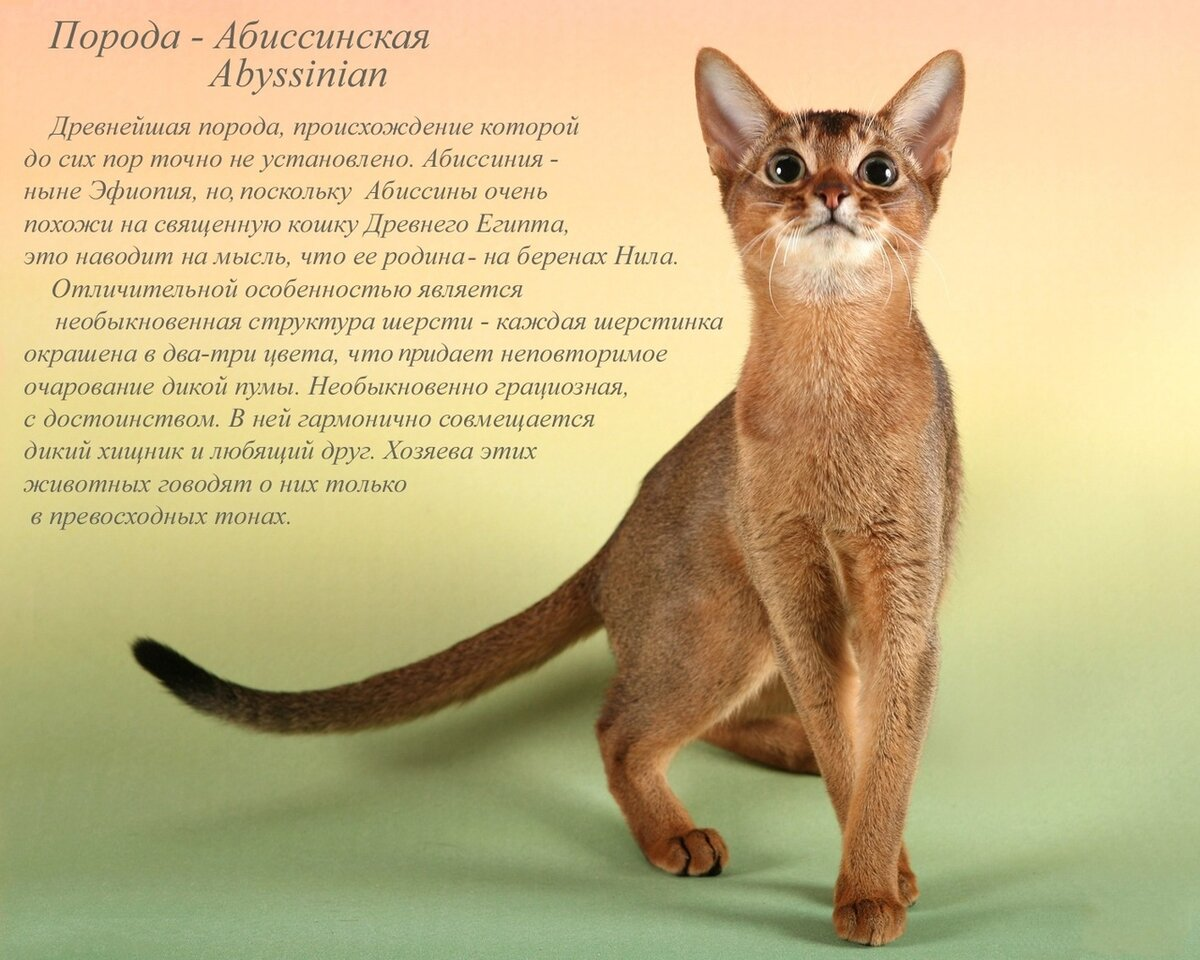 Картинка кошки и описание