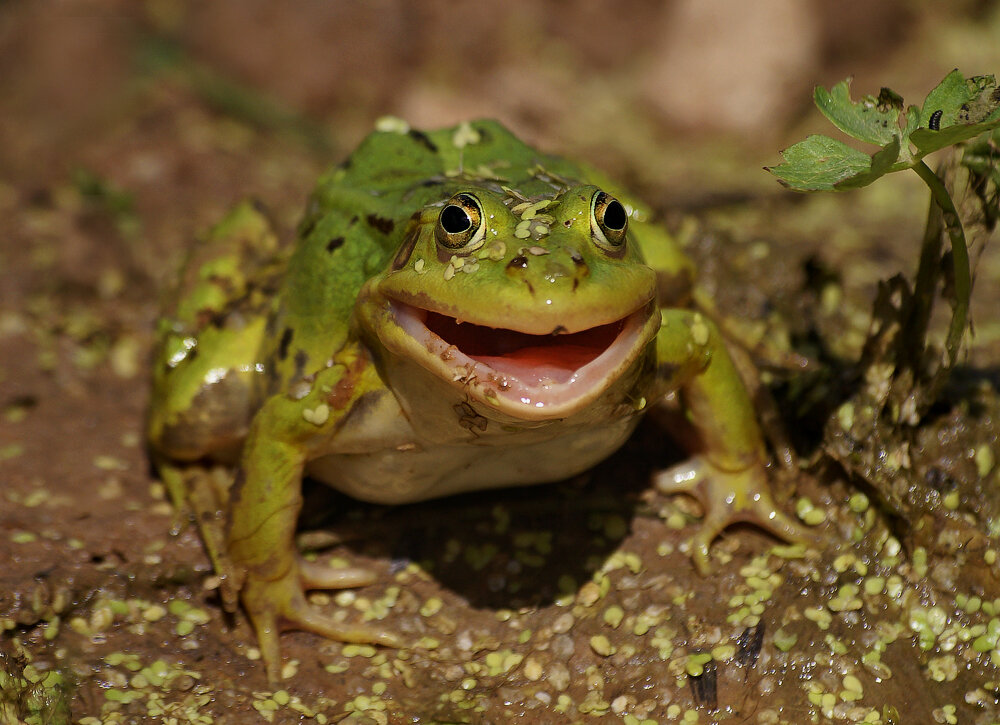 Для, картинки лягушки