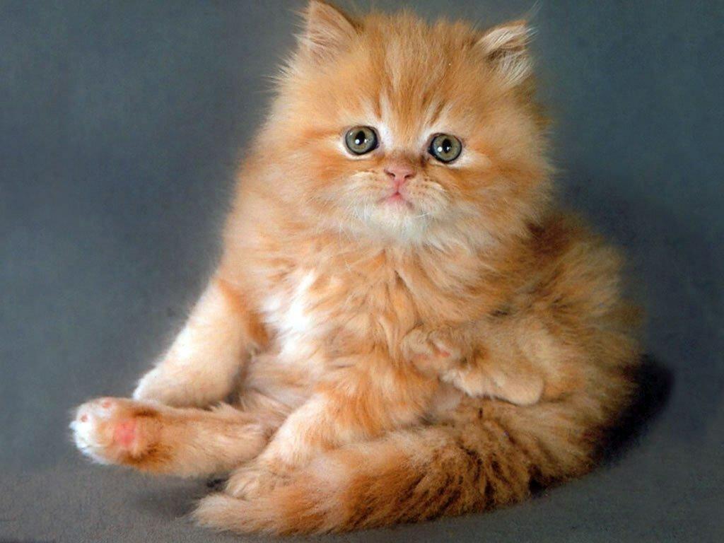 распечатать фотографии котят норвегии голову
