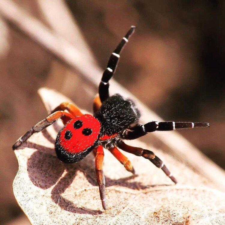 паук с красными лапками украина фото описание сочетании