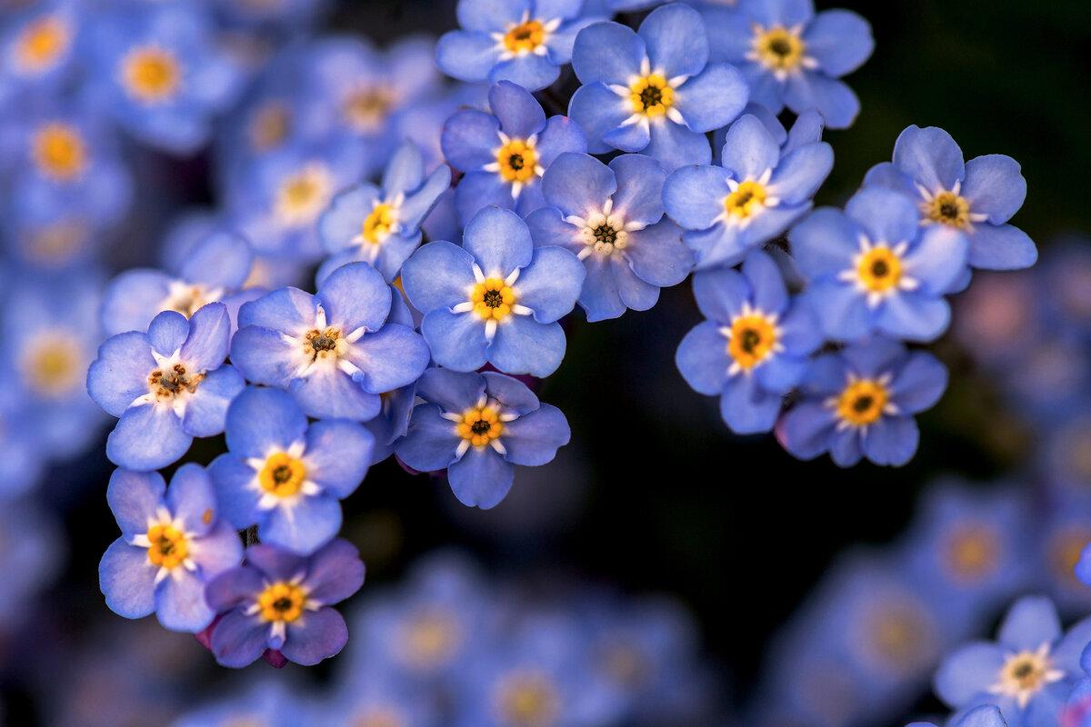 Картинки с цветами незабудка