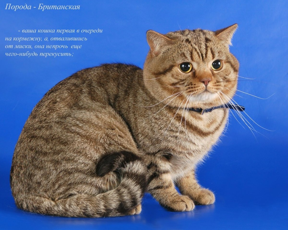 Никахом, картинки пород кошек с надписями
