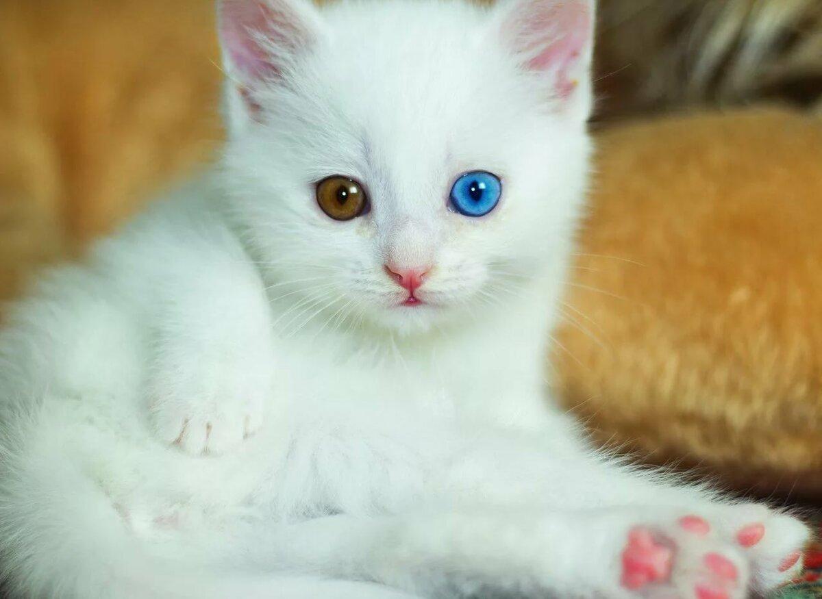 белые котята с разными глазами картинки путешествовать индии