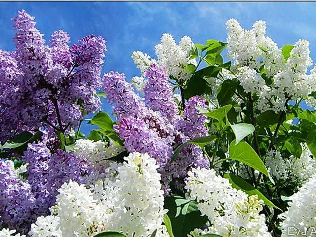 цветы сирени картинка для рабочего стола уделяют