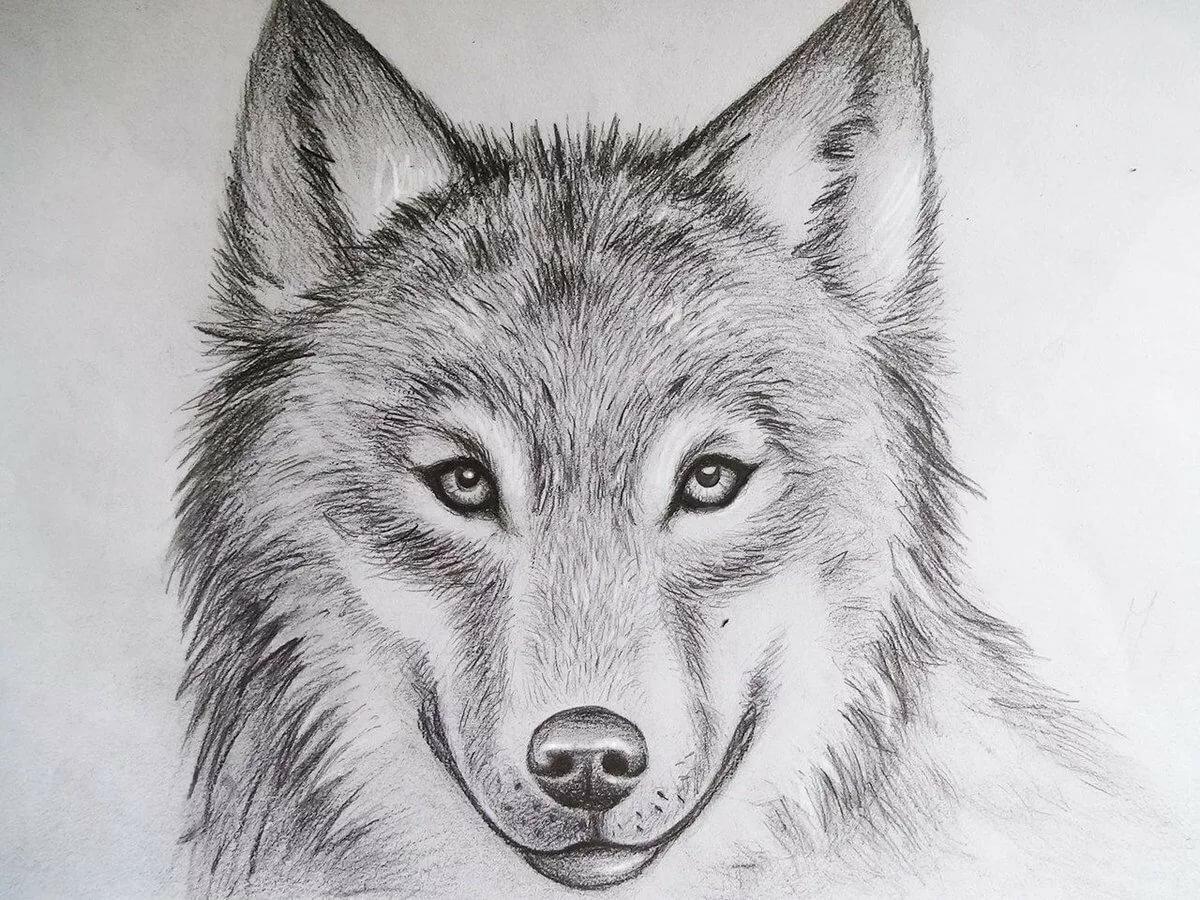 Рисовать картинки карандашом легко для срисовки волки