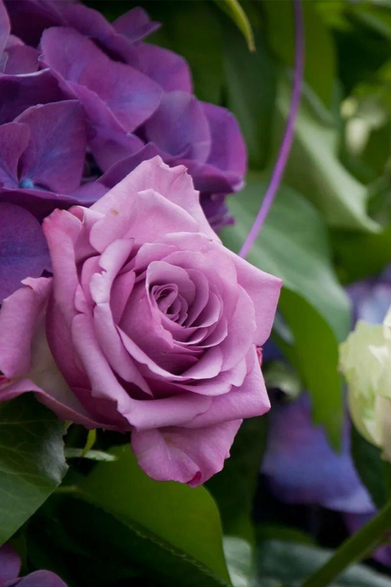 Шуточные, сиреневые розы картинки