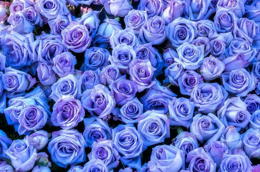 Маленькие розы картинки фиолетовый фон, открытки деду день