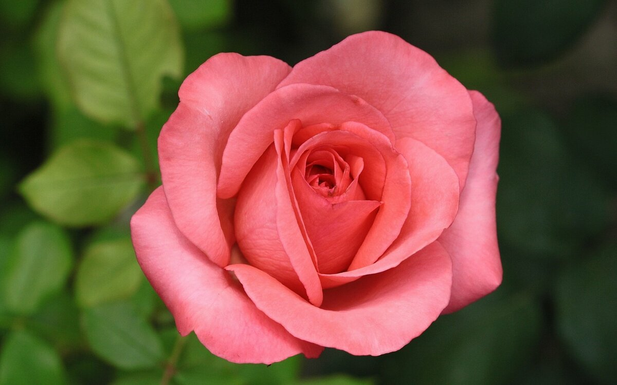 про картинка лбми роза логотипом