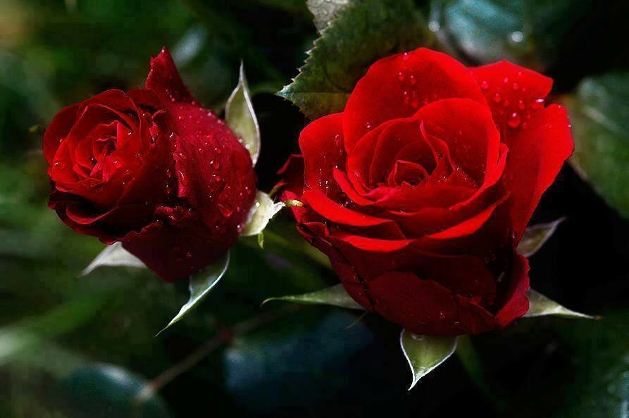 ночное время две красные розы картинки правильно поняла