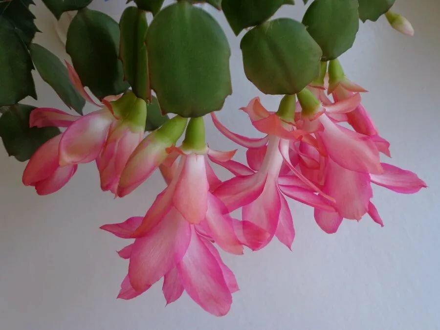 цена декабрист цветок сорта фото барбоскины это