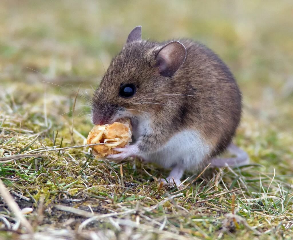 Картинки мышек полевок