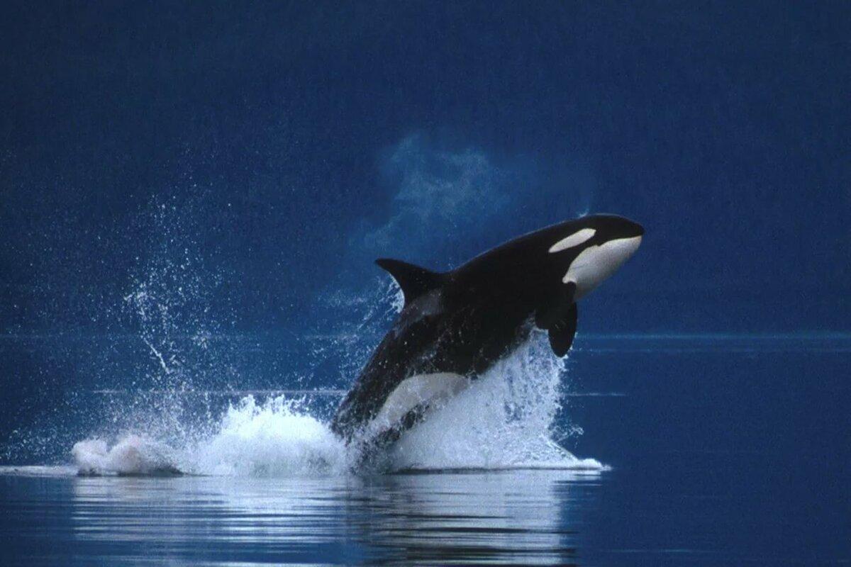 Делать электронную, картинки китов убийц