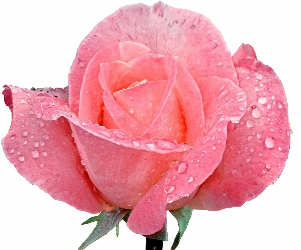 Сделать открытку, розовая роза анимации картинки
