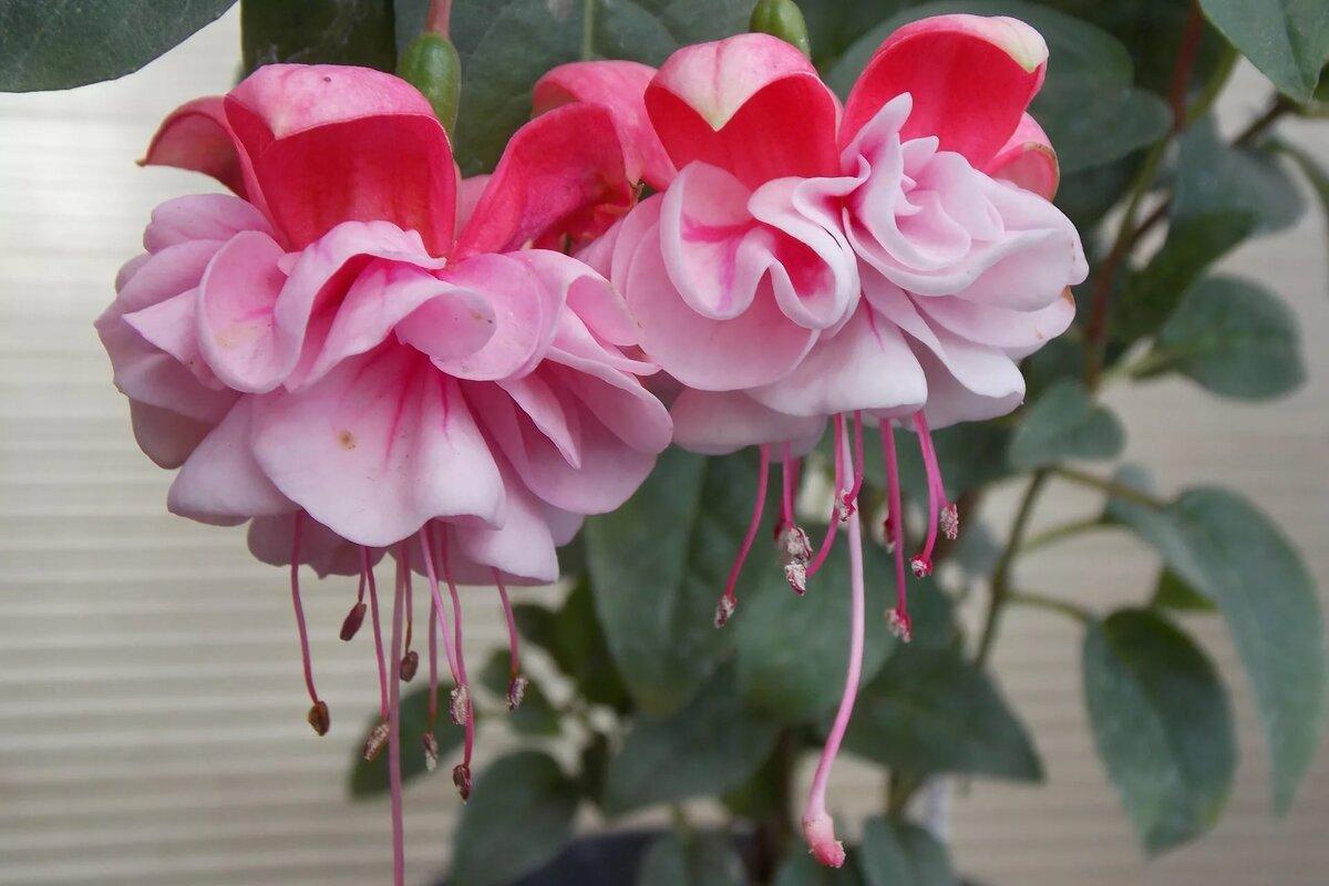 Цветы фуксию купить в донецке