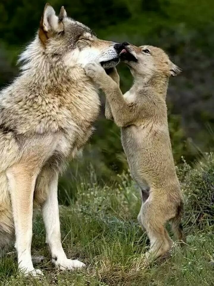 артистическая картинки животных смешные волки программа включает себя