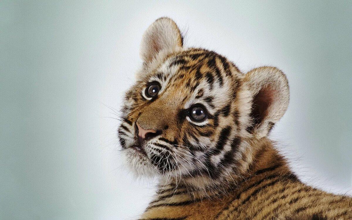 Анекдоты, тигрята картинки