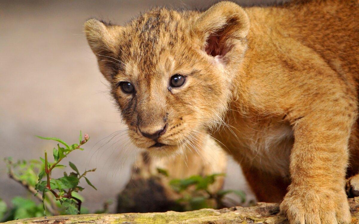 Дню, картинки со львенком