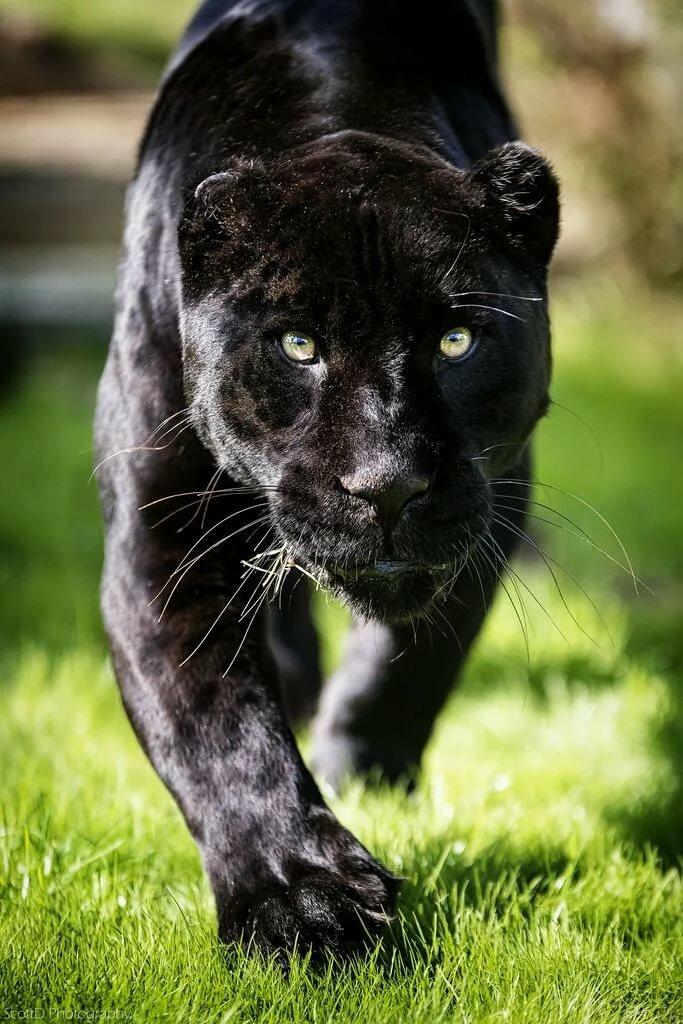 Картинка черная пантера, шампанским