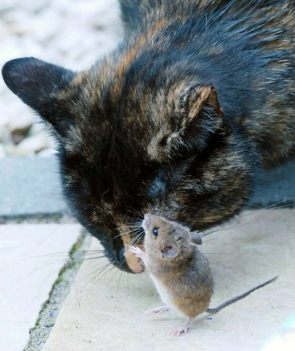 Картинки кошки и мышки
