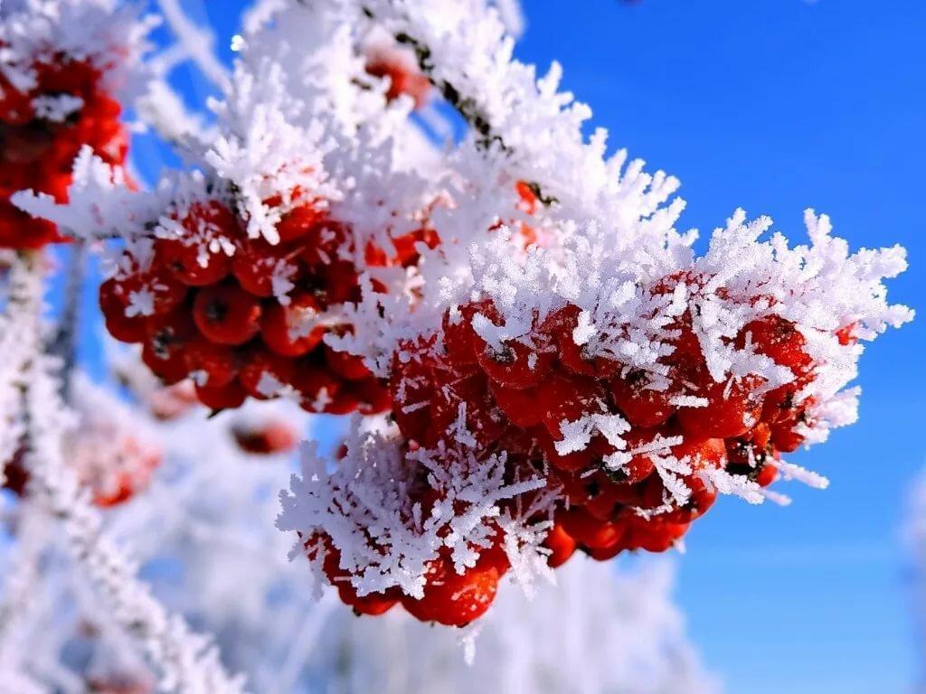 позволили фото рябина в снегу изображение на экран ремень