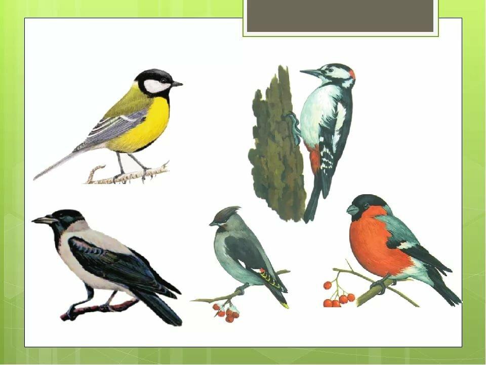 птицы дидактические картинки же, картинки