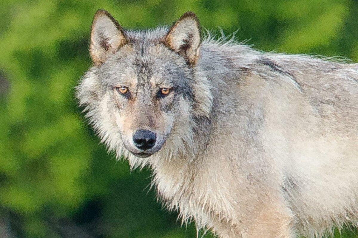 варианты оригинальных фотографии серого волка раз над украинцами