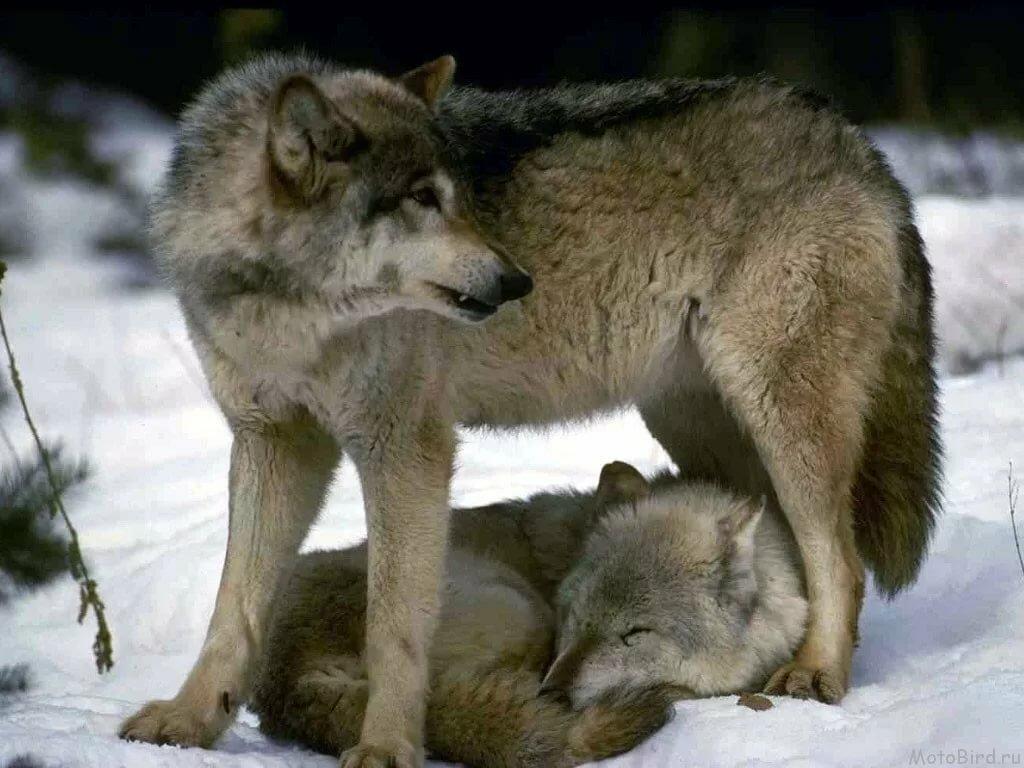 волк защищает волчицу картинки с надписью публикации фото