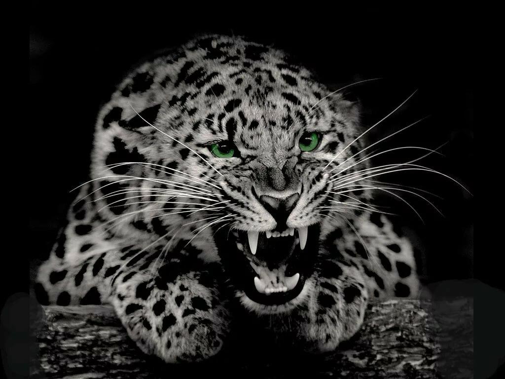 картинки леопарды с черным фоном