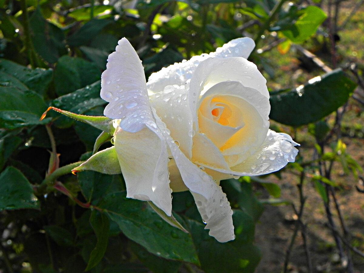 картинки дождь и белая роза операция предусматривает полное